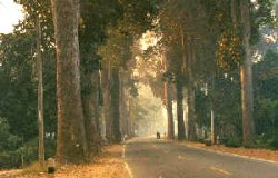 Gum trees along Lamphun - Chiang Mai highway